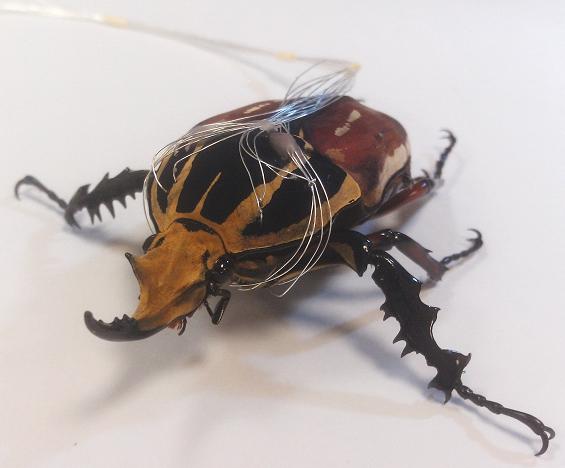 Niesamowita hybryda owada i komputera. Chodzi i lata