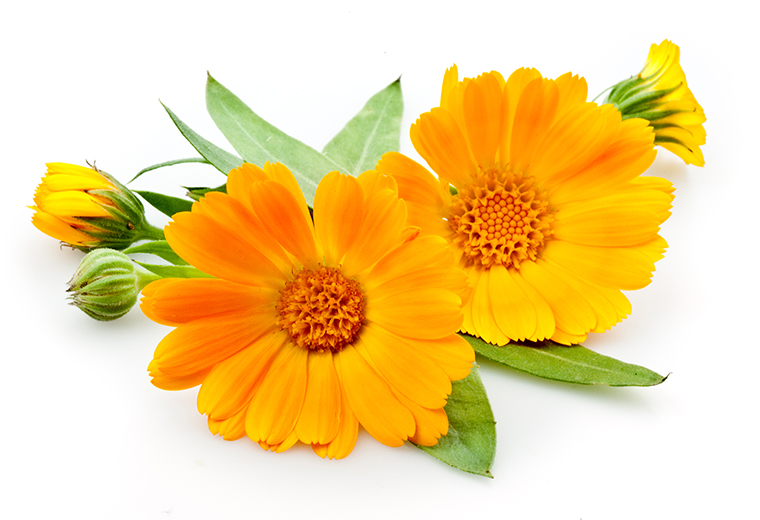 Nagietek - cudowny kwiatek