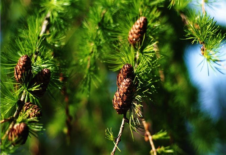Drzewa iglaste dla zdrowia
