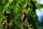 Fot. do artykułu: 'Drzewa iglaste dla zdrowia'