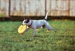 Fot. do artykułu: 'Psy i frisbee'