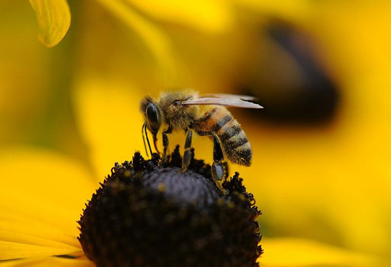 Jak poradzić sobie po użądleniu przez pszczołę lub osę?