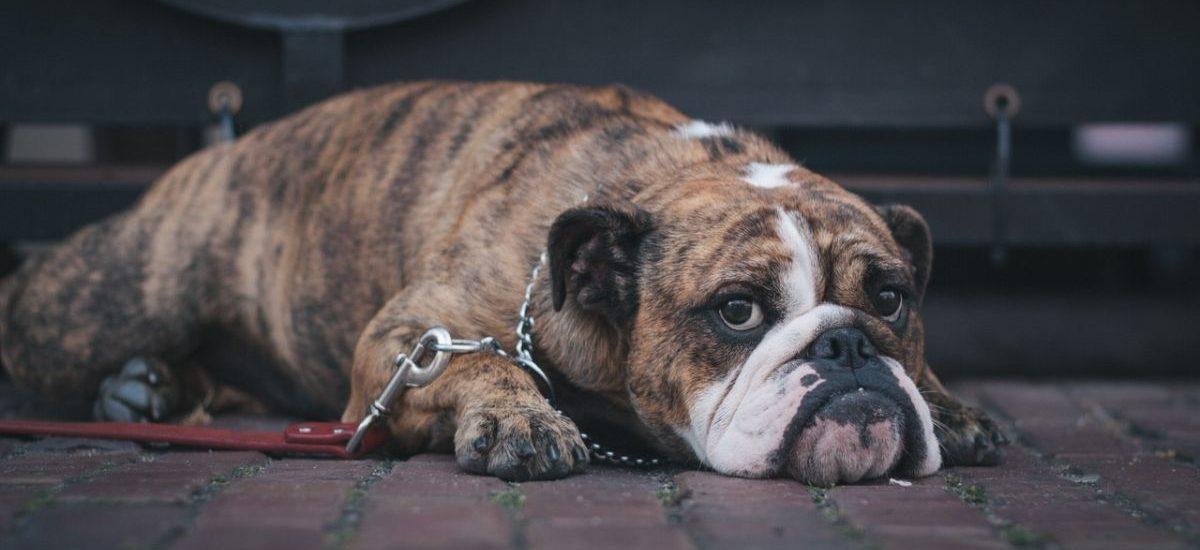 Pies na łańcuchu a prawo. Sąsiad całymi dniami więzi psa?