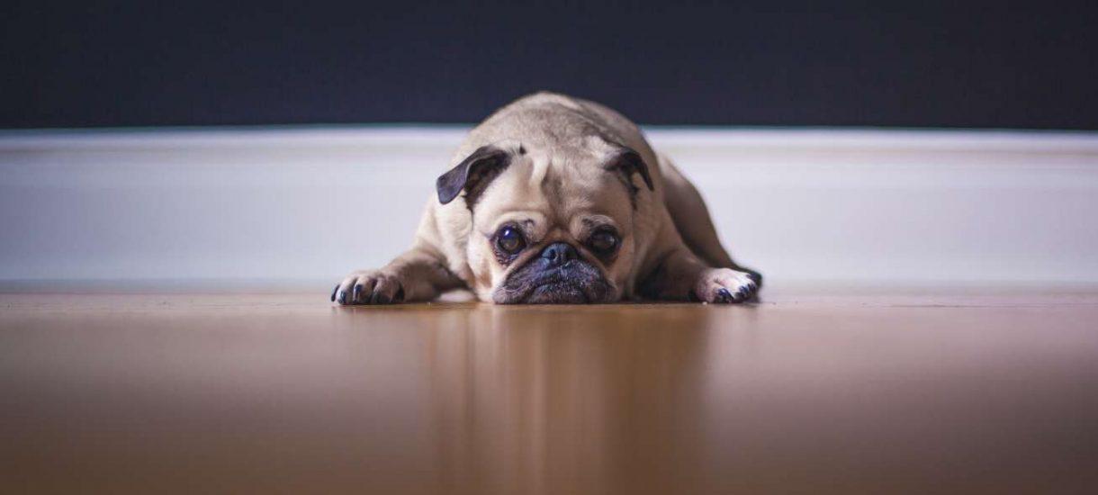 Tylko rasowe psy są wartościowe – za spowodowanie śmierci kundelka nie zapłacisz ani grosza. Tak orzekł sąd