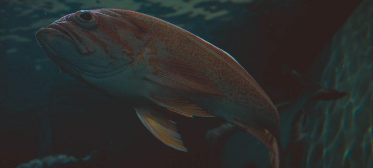 Być może przedświąteczny karp już nigdy nie będzie pływał w naszej wanie. Idą zmiany w ustawie o ochronie zwierząt