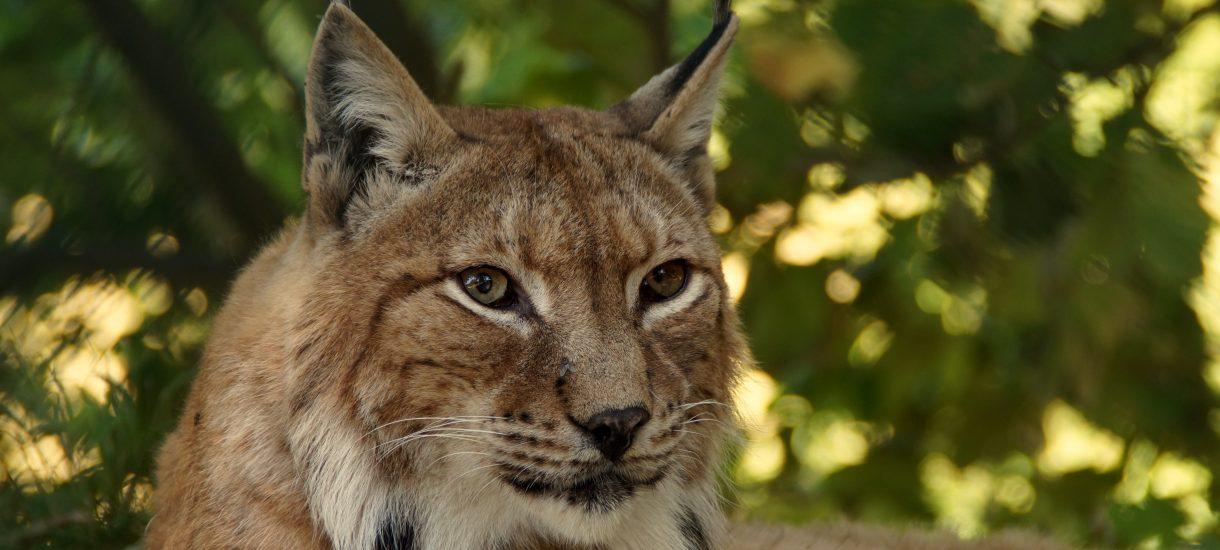Ekolodzy z WWF nie pozwolą, by rysie wyginęły – ale chyba chodzi głównie o Ryszardów w ich zarządzie