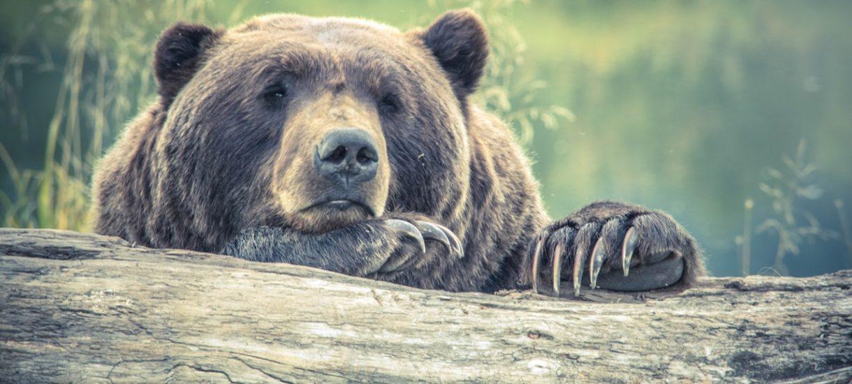 Selfie z niedźwiedziem – nowa moda w Bieszczadach bije rekordy głupoty