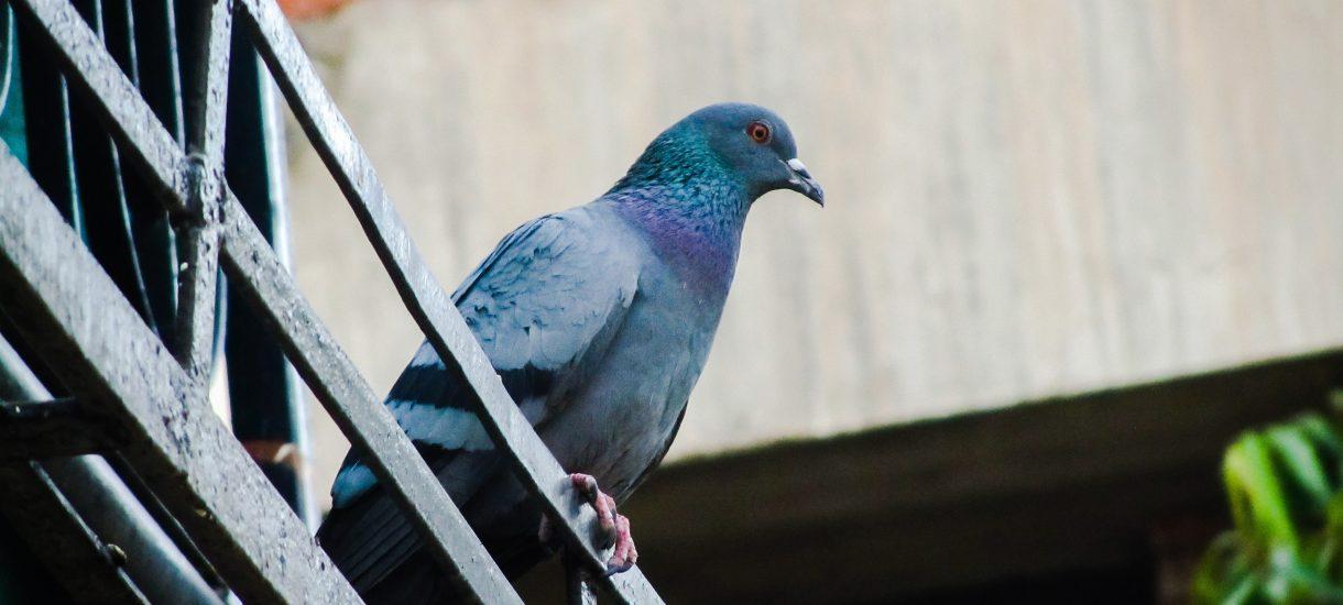 Trzeba będzie usunąć kolce z parapetów, wrócą brudne balkony i okna. Gołębie świętują nowelizację ustawy o ochronie zwierząt
