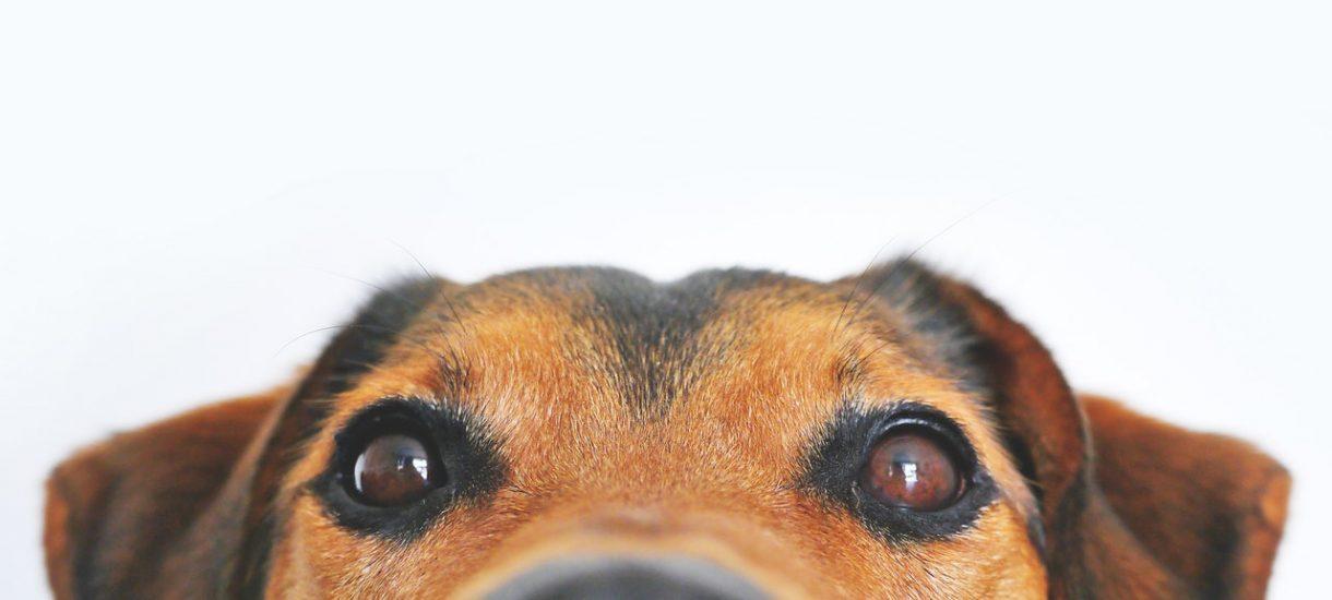 Jeśli masz psa, musisz zapłacić za niego swojej gminie do 121 złotych rocznie. Sprawdzamy jaka jest opłata za psa w polskich miastach