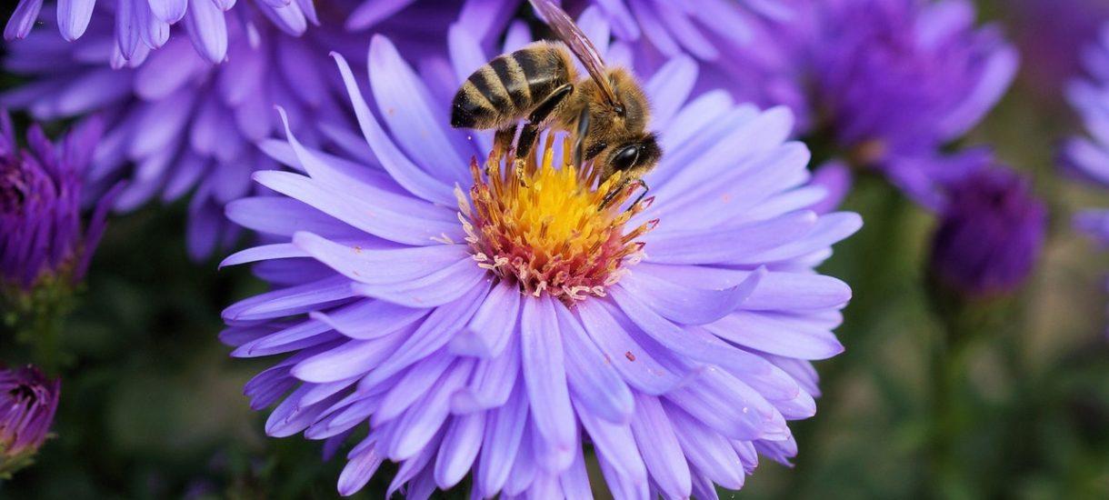 Greenpeace bierze pieniądze na ochronę pszczół. A na co je wydaje?
