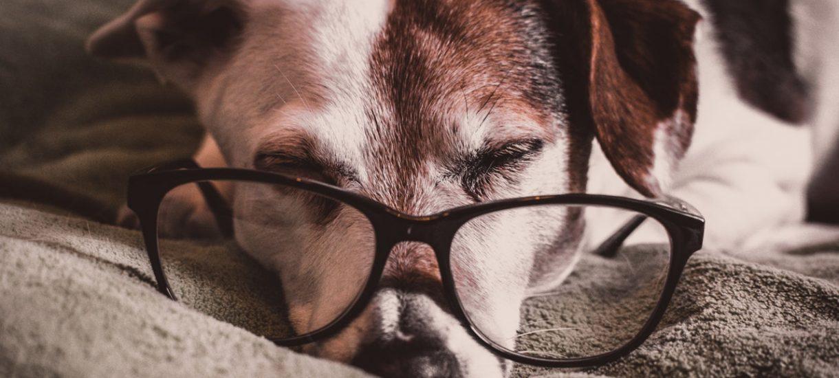 Twój rasowy pies za chwilę może przestać być rasowy. Wszystko przez planowane zmiany w przepisach o hodowlach psów