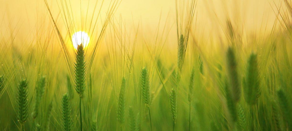 Rolnicy dotknięci suszą dostaną we wrześniu 1000 zł dopłaty do hektara