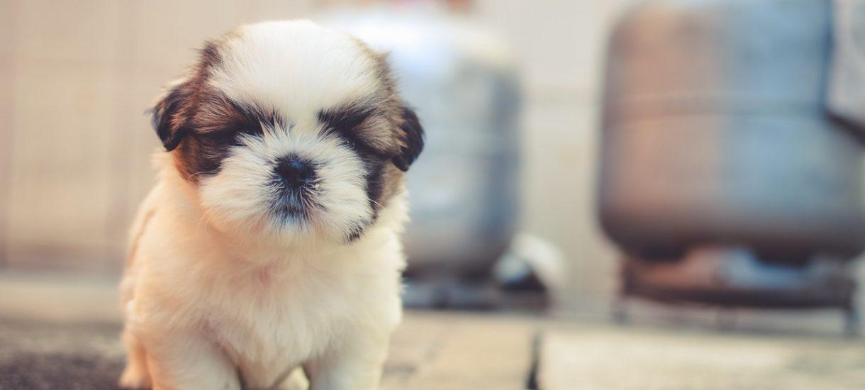 """Sprzedaż psów na OLX to wielkie obejście prawa. Hodowca niby oddaje szczeniaki za darmo, ale domaga się """"zwrotu kosztów"""""""