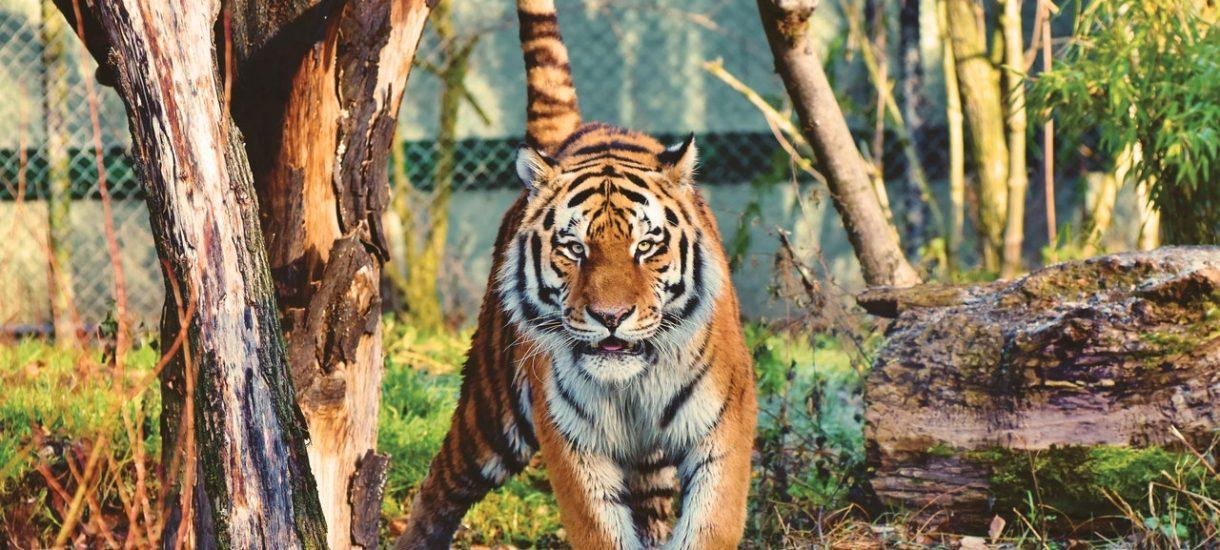 W poznańskim zoo przeprowadzono kontrolę. Zdaniem dyrektorki to kara za to, że uratowała tygrysy