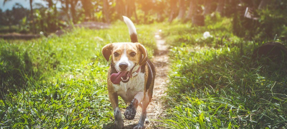 Opłata od posiadania psów jest w polskim prawie obecna. Ale co z jednym psem. Albo suczką?