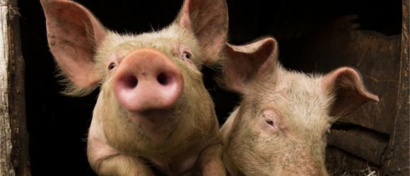 Sprzedajna świnia, ironiczny czy buntownik? Kim dzisiaj trzeba być w Sieci?