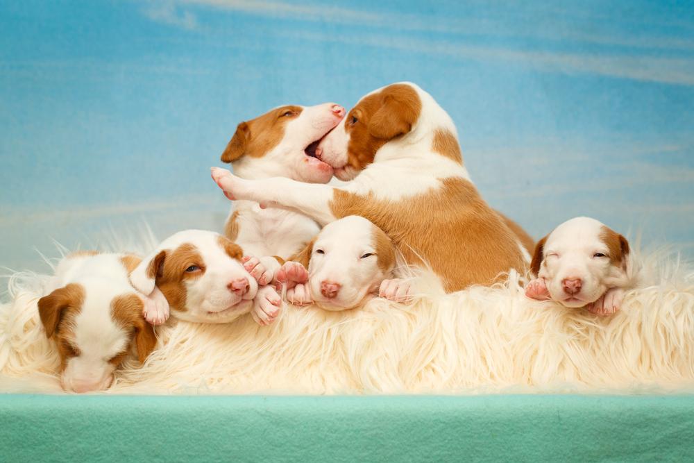 Uwaga – okazuje się, że psy mają pamięć podobną do ludzi