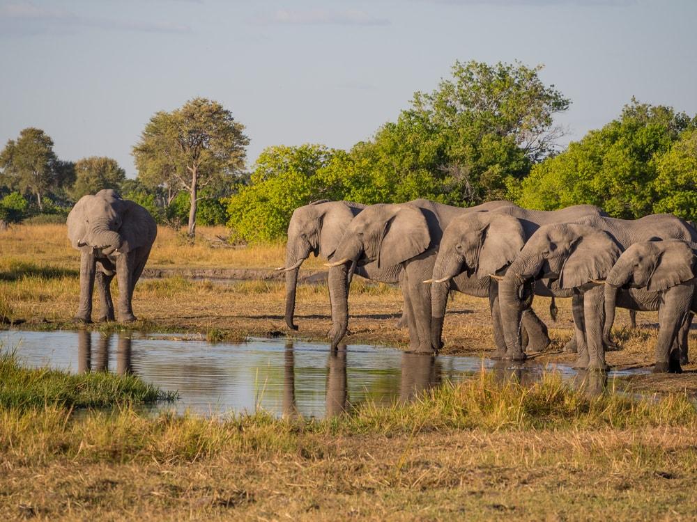 Słonie bez ciosów, czyli jak natura przechytrzyła kłusowników