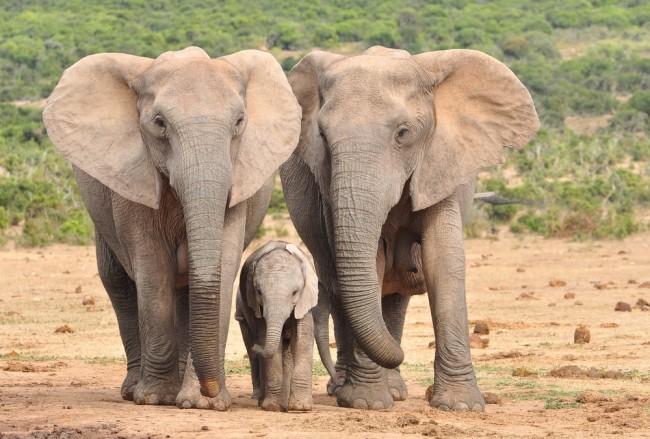 Słonie bez ciosów, czyli dobór nienaturalny w praktyce.