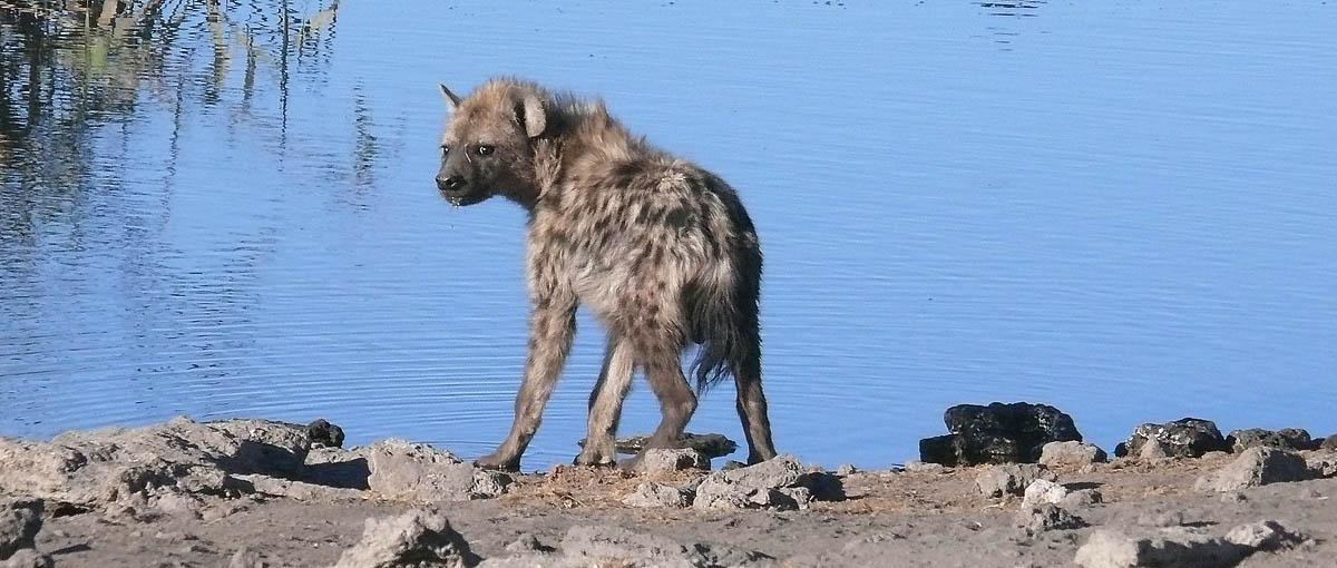"""""""Super Expressie"""", nazwanie cię hieną to obraza dla tego zwierzęcia"""