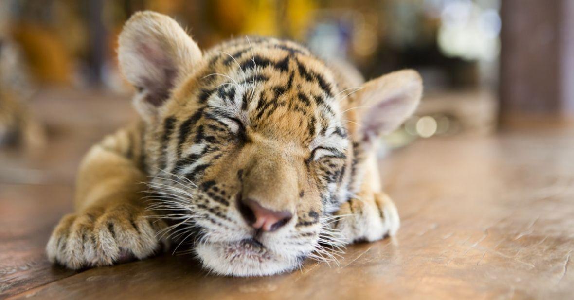 """Tiger zapłacił pół miliona za """"reklamę"""" wartą milion, ale internetowy tygrys został uśpiony"""