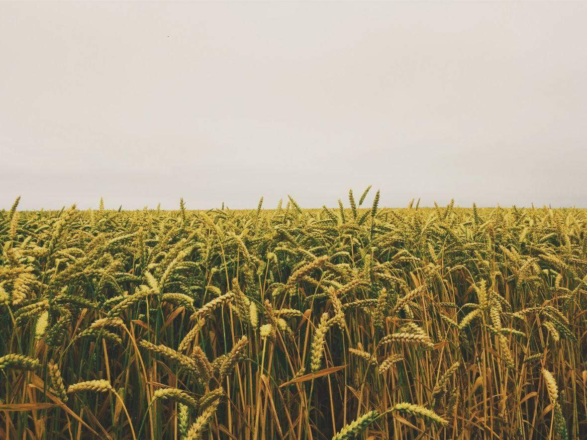 Sprzedawcy żywności nie boją się handlować strachem. Lidl rozpowszechnia bzdury o GMO