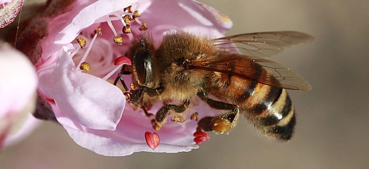 Nasze pszczoły mogą odetchnąć z ulgą. Unia zakazała stosowania zabójczych pestycydów
