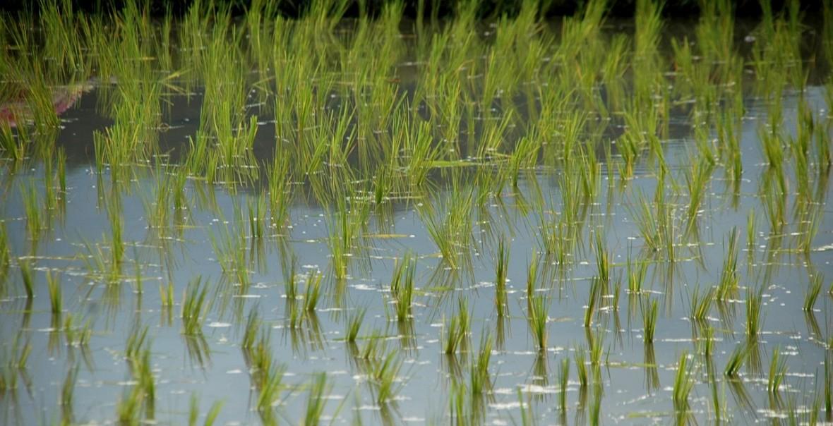 Modyfikowany genetycznie ryż może okazać się sposobem na walkę z wirusem HIV