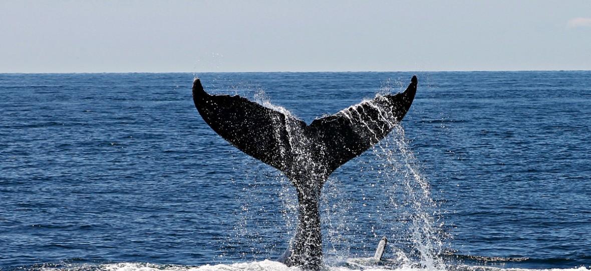 W żołądku martwego wieloryba znaleziono 6 kg plastiku. Przyzwyczajcie się – takich obrazków będzie coraz więcej