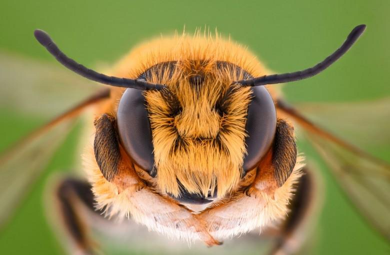 To się dzieje naprawdę. Opracowano pszczoły-cyborgi, które mają plecaki i ładują się bezprzewodowo