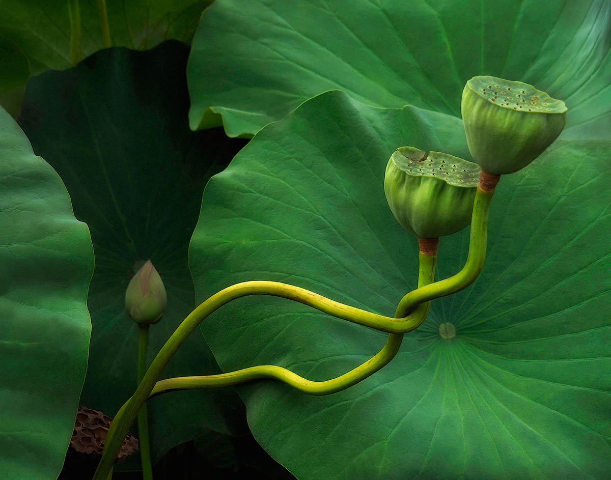 """Lotus Tango"", fot. Kathleen Furey 