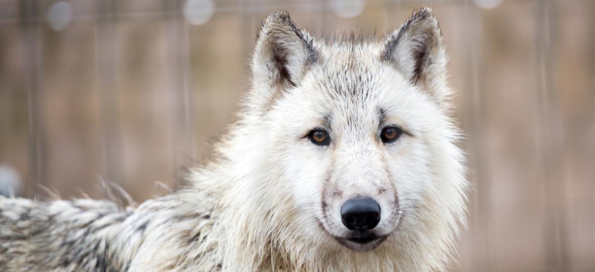 Zbiórka dnia: Jon Snow, ten z Gry o Tron, zostawił swojego wilkora, więc… trwa zbiórka pieniądzy na ratunek