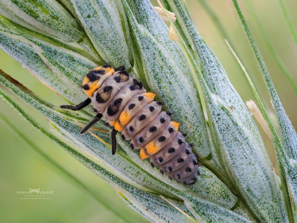 Coccinella Septempunctata larva. Olympus OM-D E-M1 Mark II + Olympus M.Zuiko Digital ED 60mm F2.8 Macro. Fot. Ireneusz Walędzik