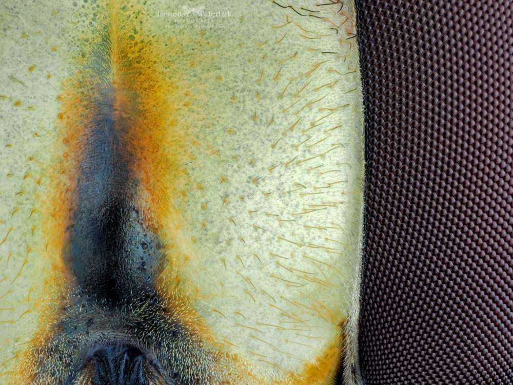 Polyommatus icarus. Olympus OM-D E-M1 Mark II + Laowa 25mm F2.8 2.5-5X Ultra Macro. Stack z 27 zdjęć wykonanych przy naturalnym oświetleniu. Fot. Ireneusz Walędzik