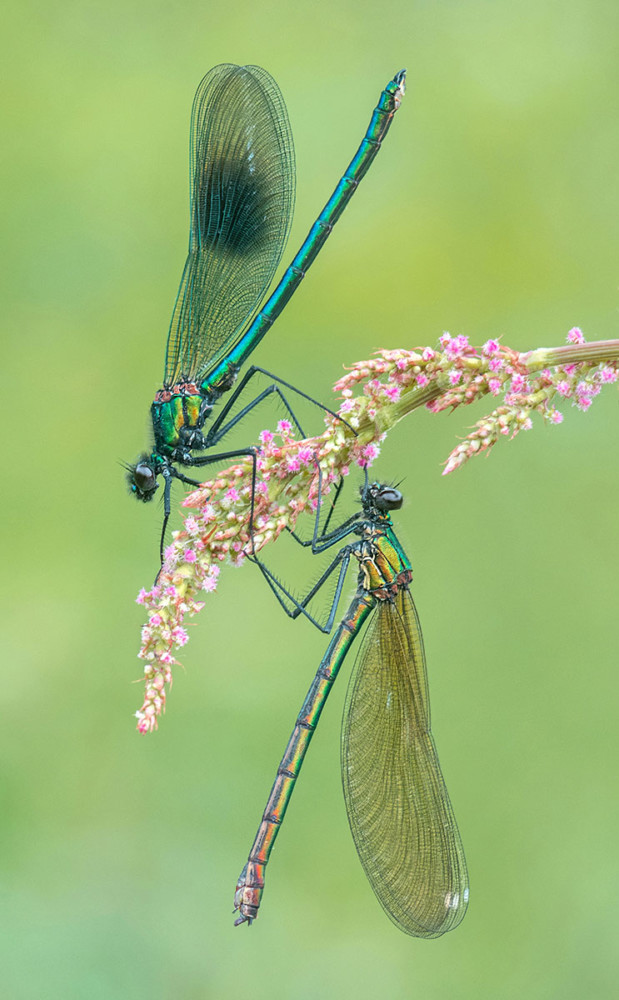 Fot. Tony North, The Banded Demoiselles