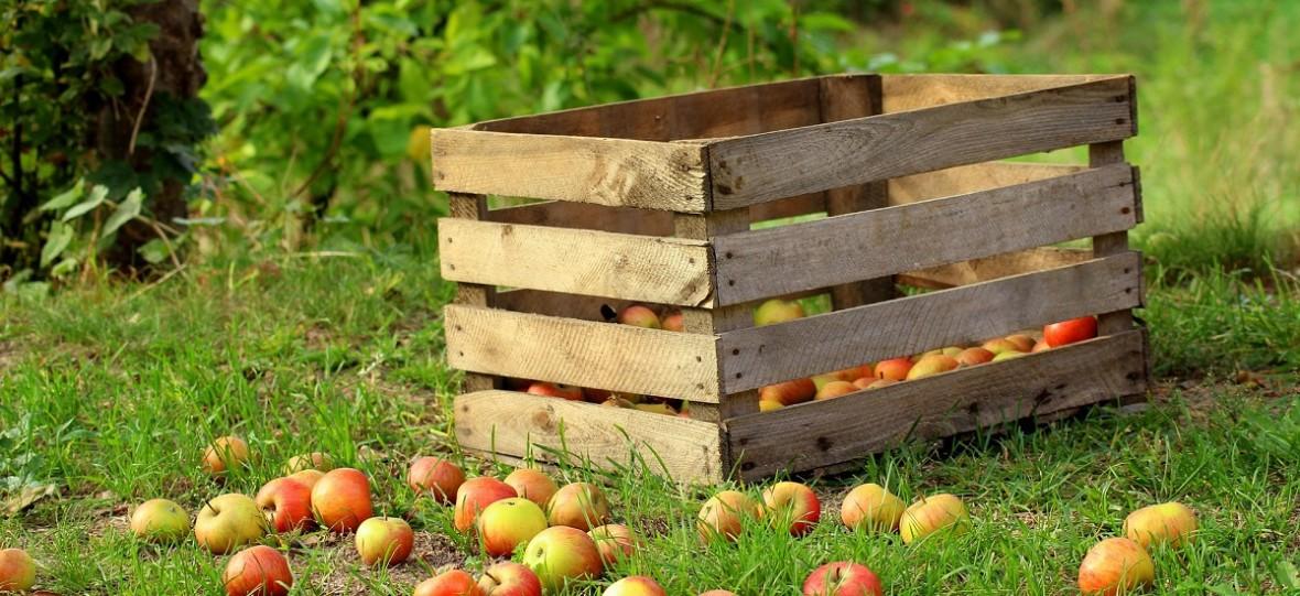 Praca sezonowa w Polsce: zbierając owoce Ukraińcy mogą zarobić nawet 30 zł za godzinę