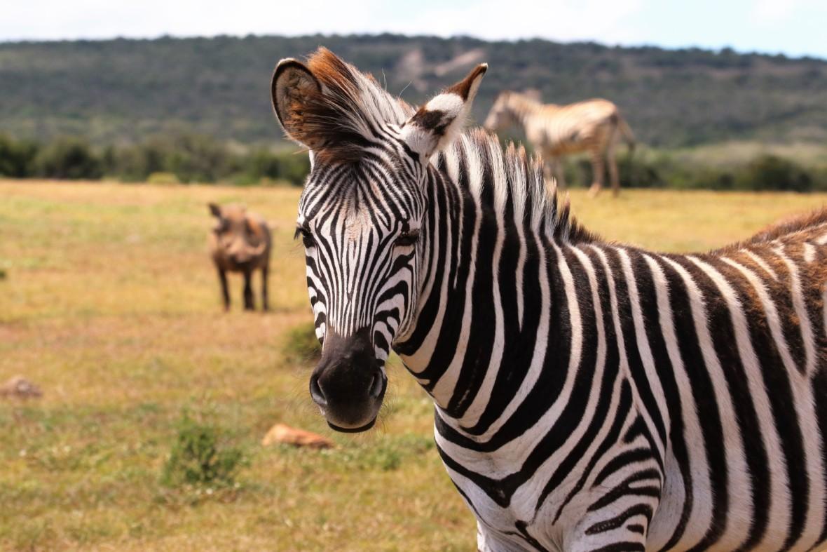 Burgery z zebry, czyli o nieoczywistych zaletach sztucznego mięsa