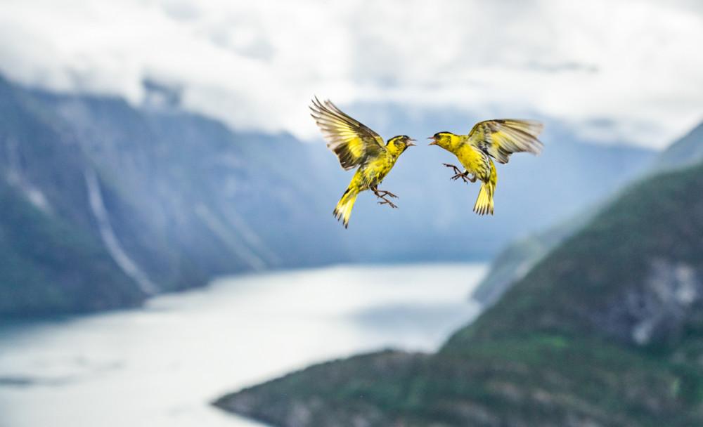 """Fot. Bernt Østhus (Norwegia) """"Fjord fight"""", wyróżnienie w kat. Ptaki"""