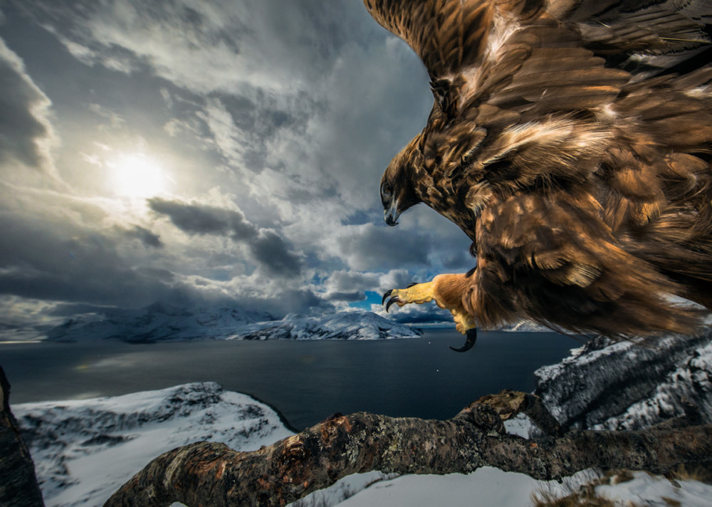 "Fot. Audun Rikardsen (Norwegia) ""Golden eagle landing"", wyróżnienie w kat. Ptaki"