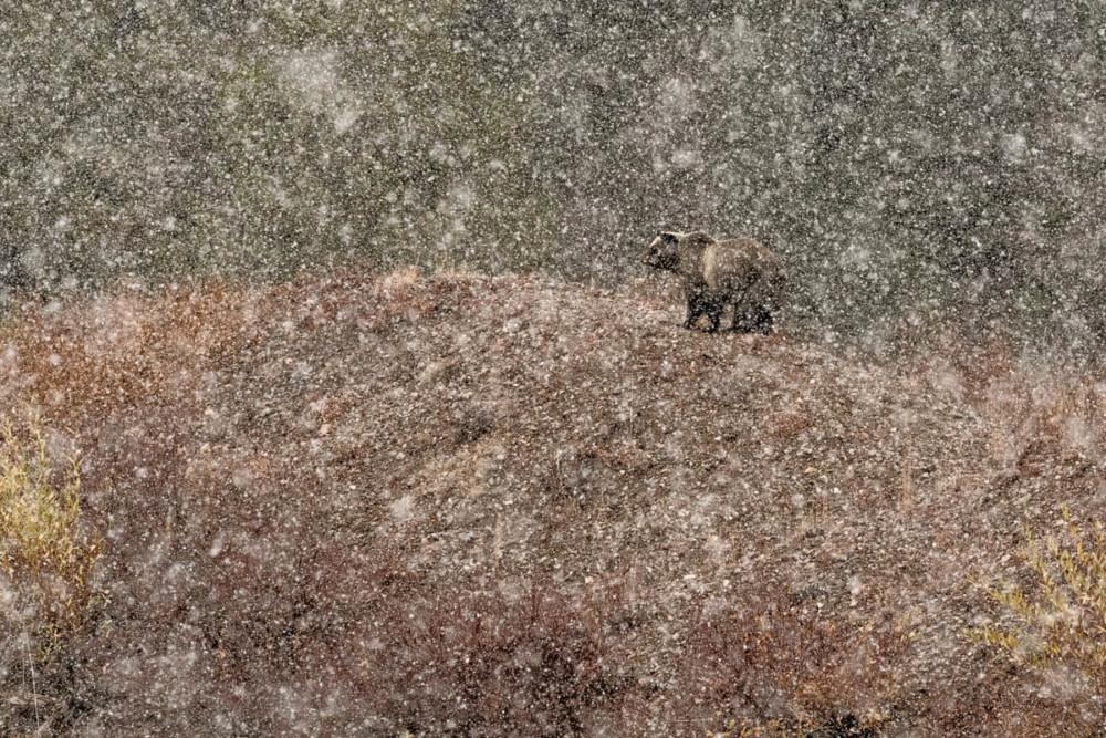 """Fot. Stefano Quirini (Wlochy) """"Under the snow…"""", zwycięzca kat. Ssaki"""