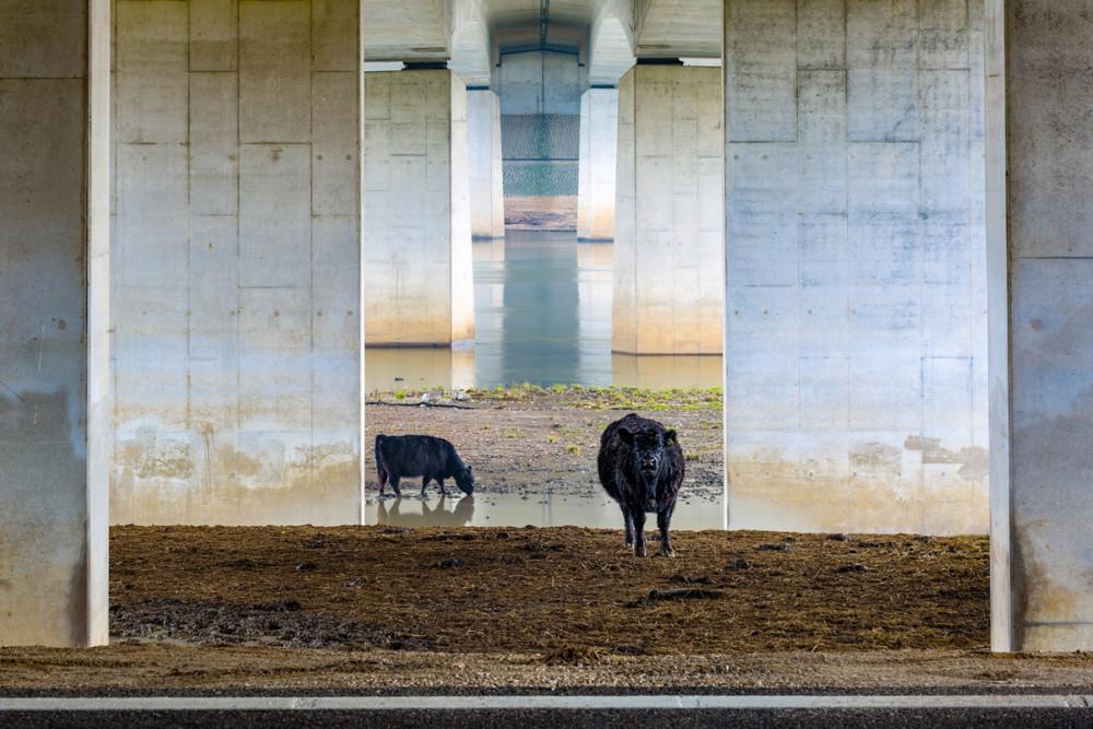 "Fot. Karin de Jonge (Holandia) ""Galloways under the bridge"", zwycięzca w kat. Krajobrazy Lage Landen"