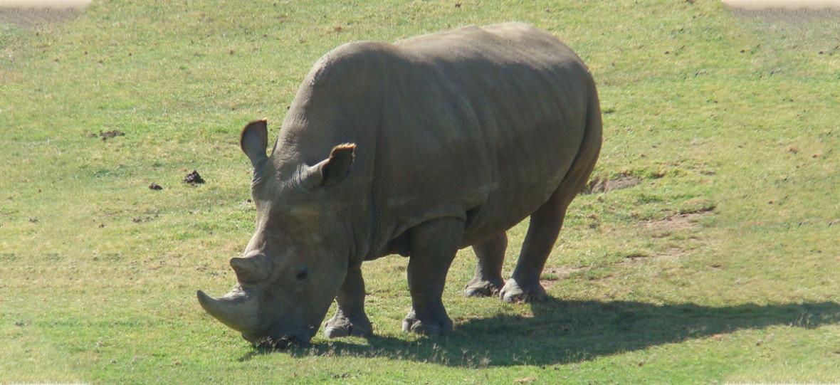 Nie ma już samców nosorożca białego północnego, ale naukowcy chcą przywrócić gatunek. Mają trzy embriony