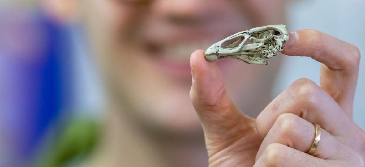 Ta kura mogła dziobać dinozaury. Naukowcy zbadali idealnie zachowaną czaszkę Asteriornisa