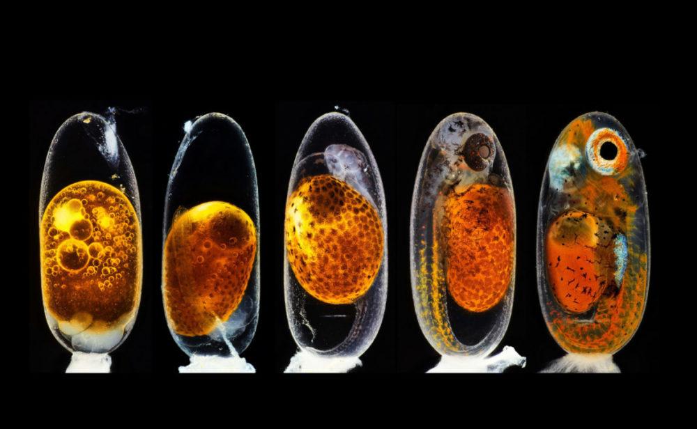 Fot. Daniel Knop, studium rozwoju embrionu błazenka, 3. miejsce