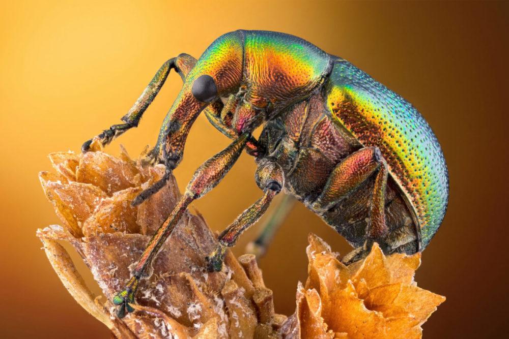 Fot. Özgür Kerem Bulur, chrząszcz z gatunku podryjowatych, 14. miejsce