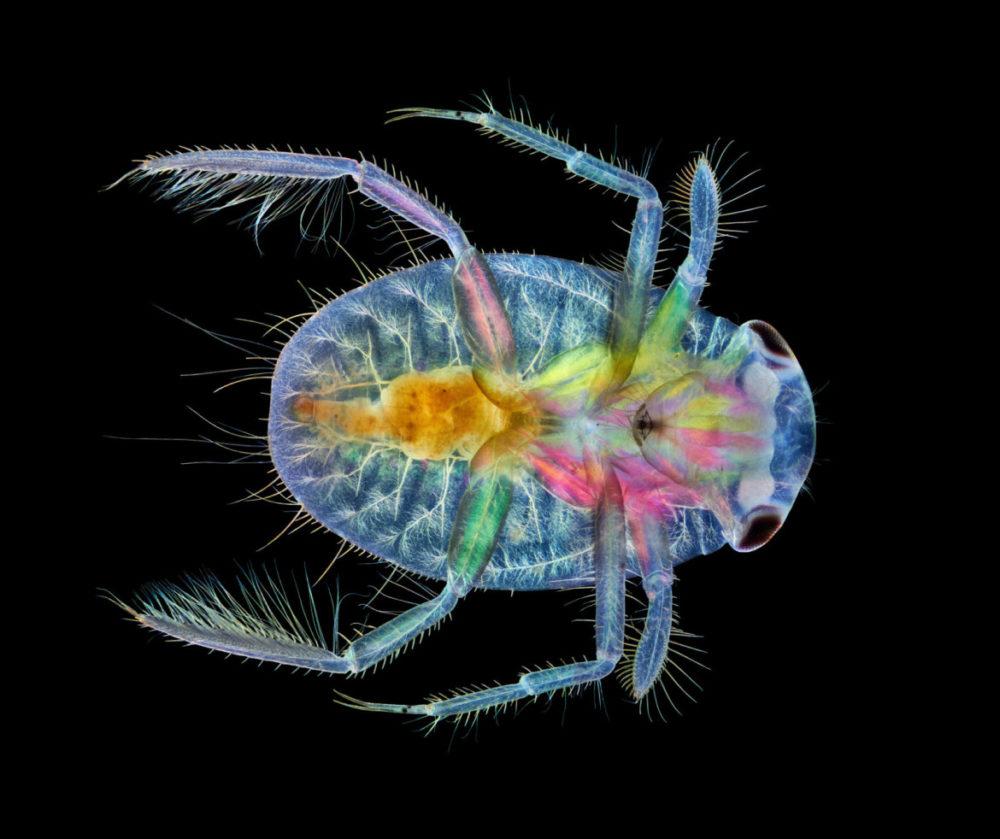 Fot. Anne Algar, owad. z gatunku wioślakowatych, 17. miejsce