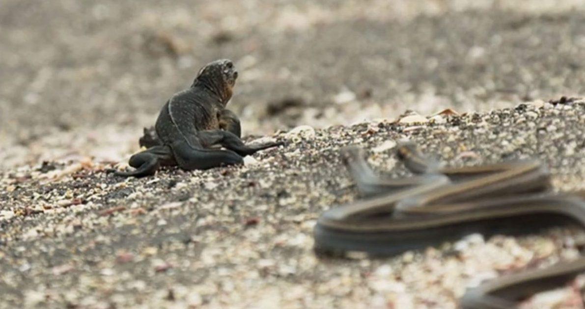 Ten materiał zza kulis wyjaśnia, w jaki sposób nakręcona została dramatyczna ucieczka iguany przed wężami