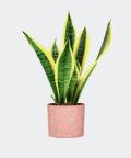 African bowstring hemp in a pink concrete pot, Plants & Pots