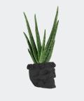 Aloe vera in a black concrete skull, Plants & Pots