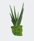 Aloe vera in a green concrete skull, Plants & Pots